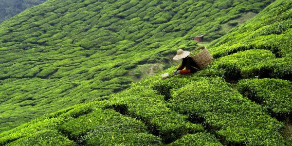 ティーペアリングのために知っておきたい日本茶の種類